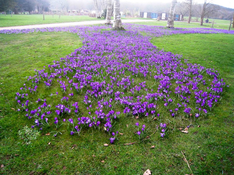 Crocus display at Trentham Gardens planted by local Rotary Clubs.