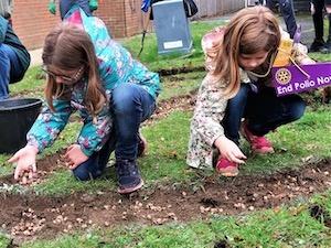 Planting purple crocus corms at Phoenix House, Sittingbourne