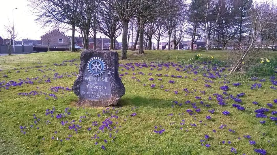 Clevedon Yeo Rotary Crocus blooms M5 Roundabout Polio Reminder