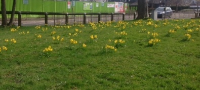 Daffodils planted by Braids Rotary outside Tesco's Colinton Store