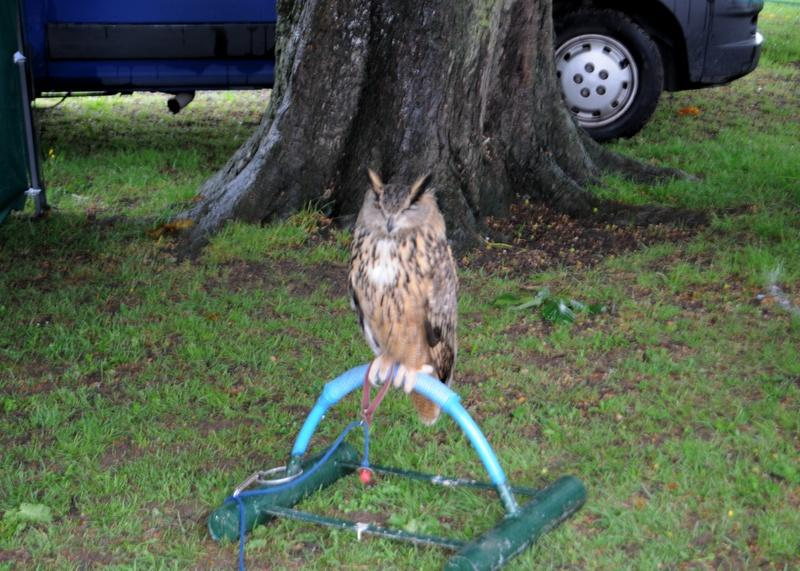 Abergavenny Steam Rally 2012 - An owl is one of the birds on display.