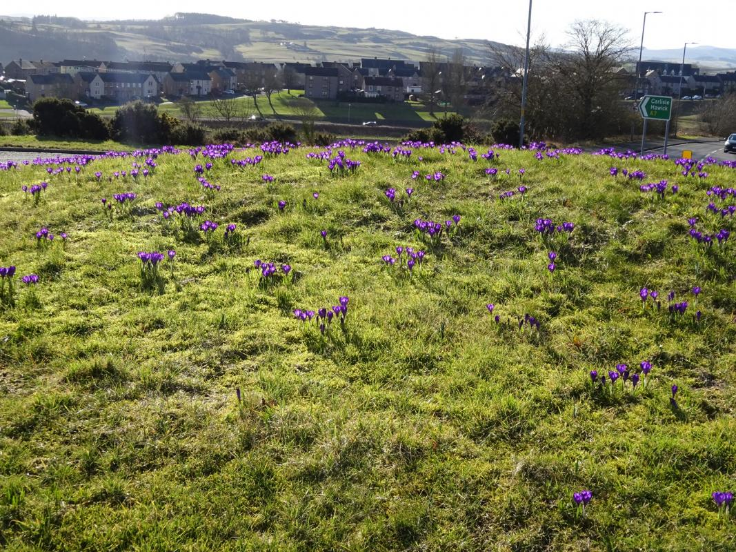 Worth the wait: Crocuses at Galalaw -