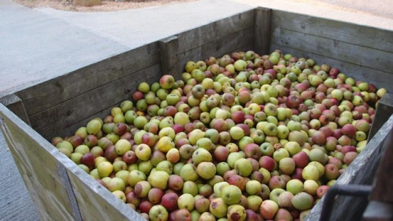 Cider Fields Tour with Gill Girard (September 2011) - Apples ready for processing