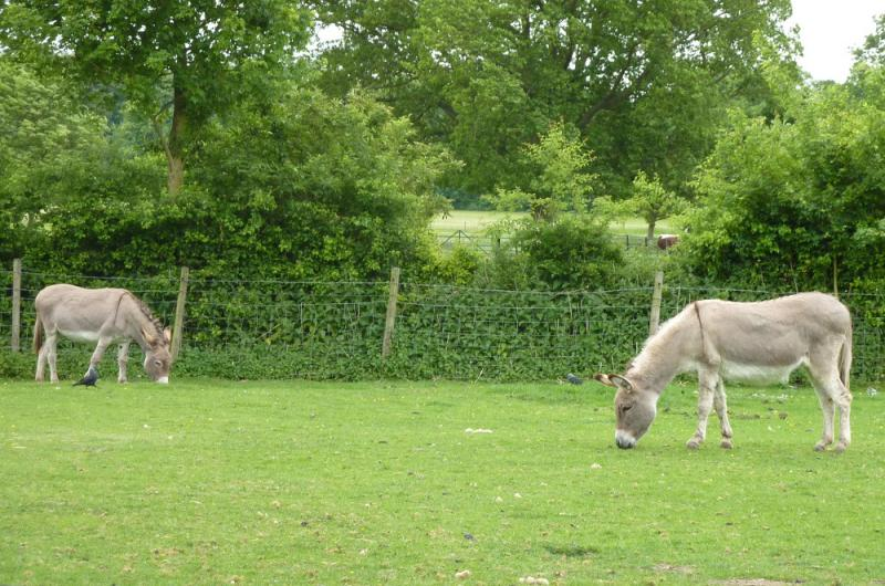 Jun 2013 Kids Out Day at Wimpole Hall and Farm - 22 We saw donkeys peacefully grazing