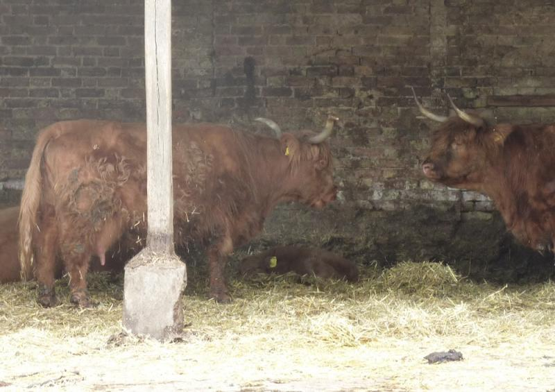 Jun 2013 Kids Out Day at Wimpole Hall and Farm - 25 There were big horned cattle