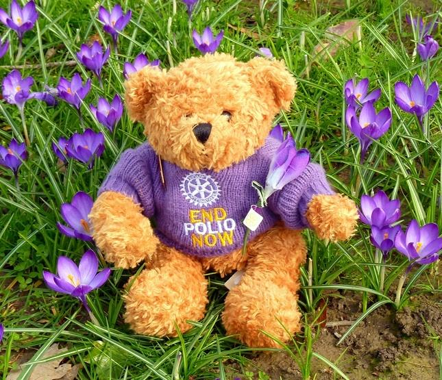 Fred Bear raising awareness and funds to end polio - Checking out the crocuses - planted as part of the Purple4Polio campaign.