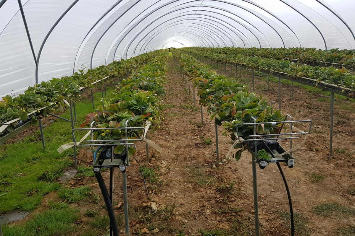 District Governor's Newsletter - October 2019 - A day out with Ware Club to visit Wilkin & Sons Fruit Farm, lots of lovely strawberries ready to pick