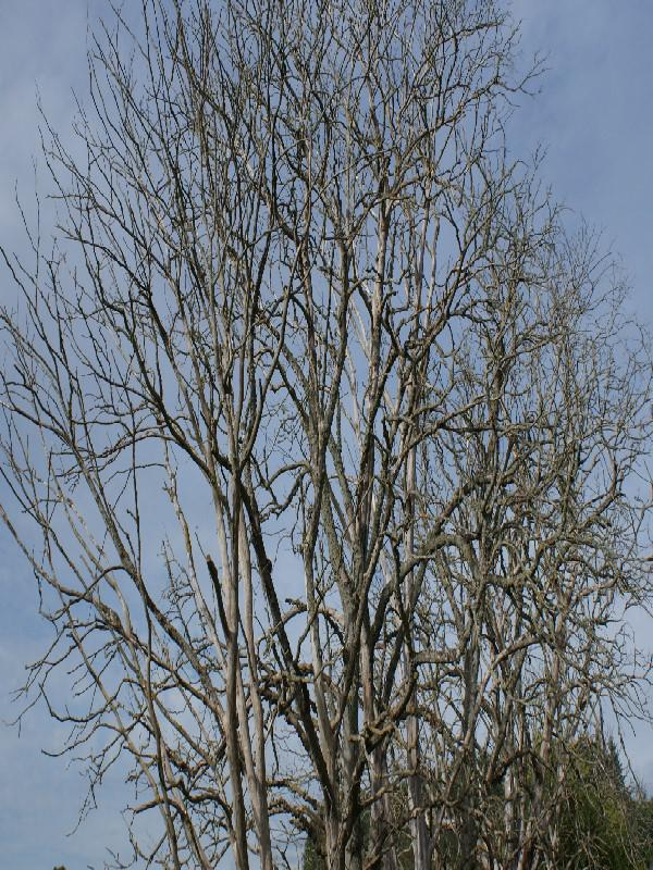 28/09 Rothiemay day - Dutch Elm disease