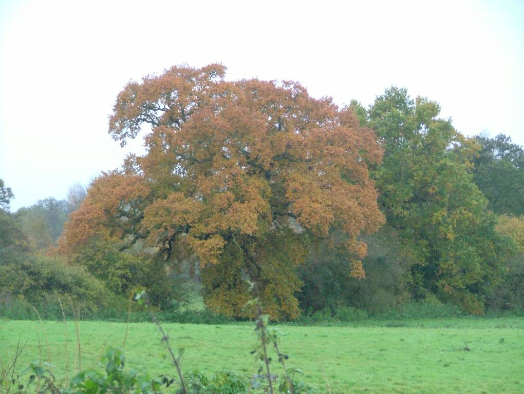 Around our District - An English Oak