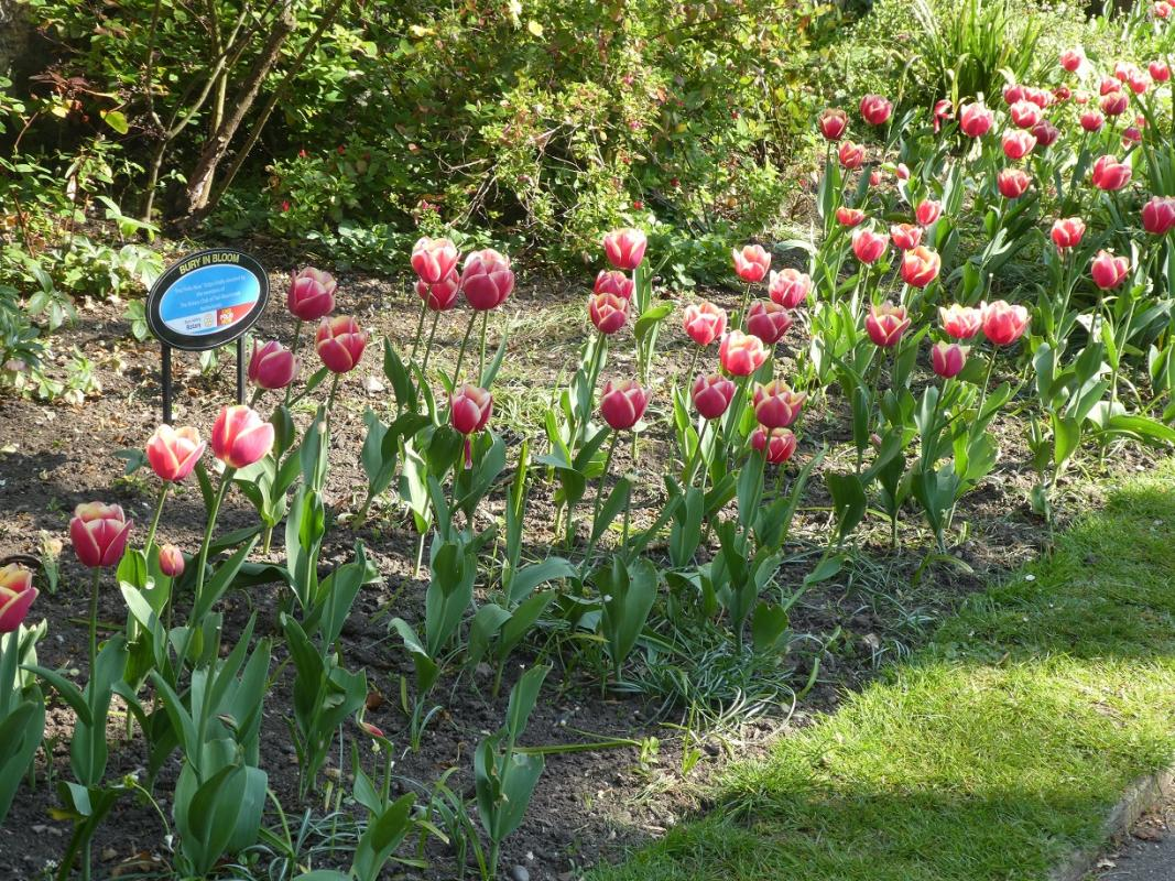 Tiel Rotary Visit to Plant Tulip Bulbs -