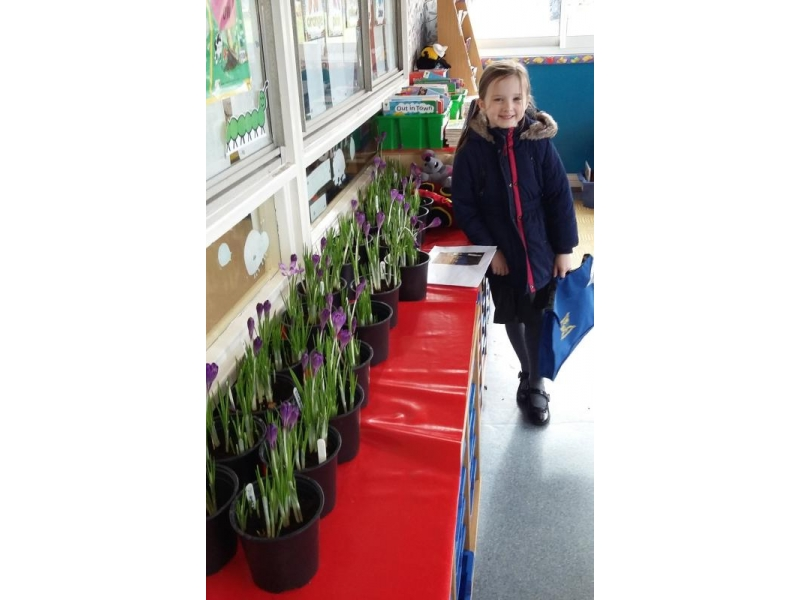 Crocuses in Bloom around the District - Banbury's primary schools added to the town's displays by growing corms donated by the Club, in pots in their classrooms