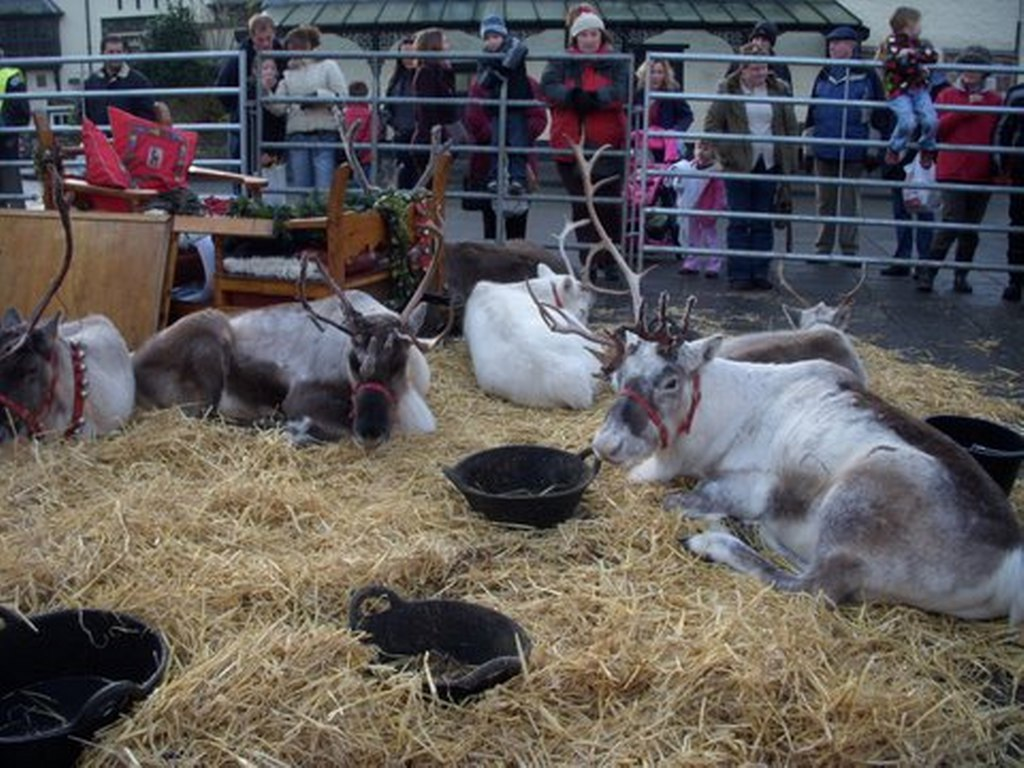 Reindeer Parade Photos -  After Parade, reindeer rest in pen