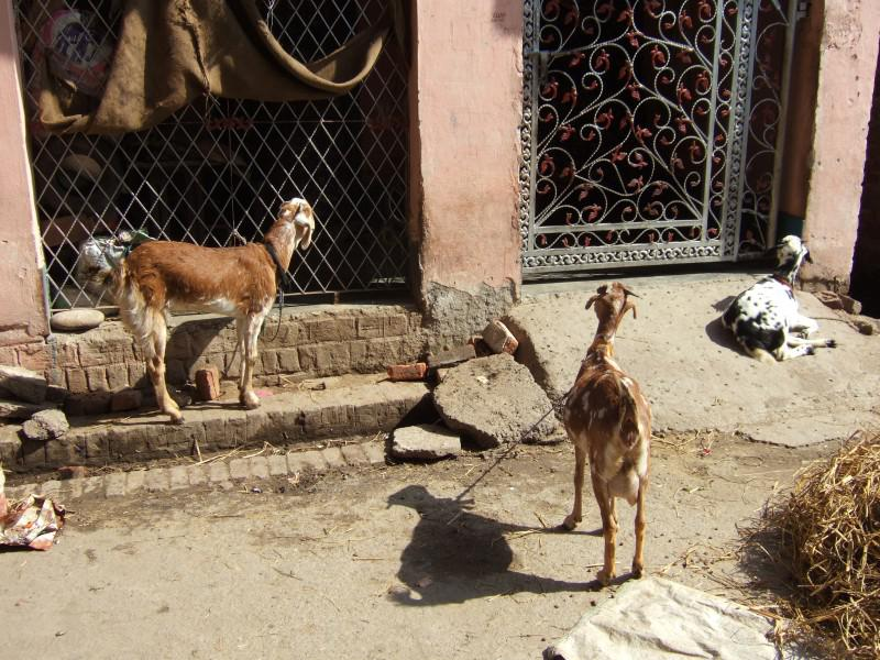 Immunisation Day in India - Goats