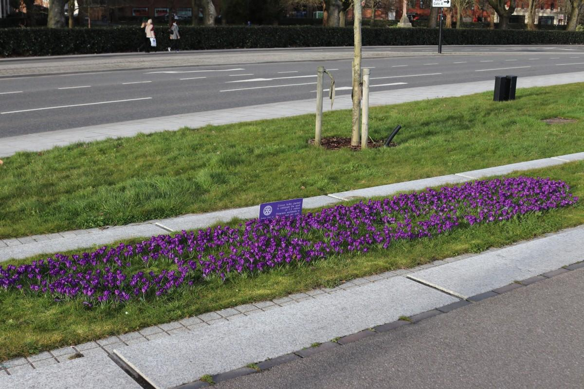 Crocus Planting at Vokes Memorial Garden in Southampton - Another fine bed of blooming crocii