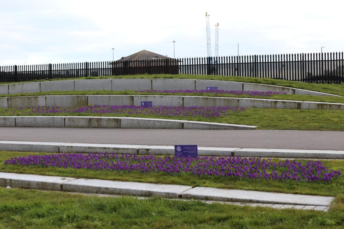 Crocus Planting at Vokes Memorial Garden in Southampton - All three beds of blooming beds of Crocii