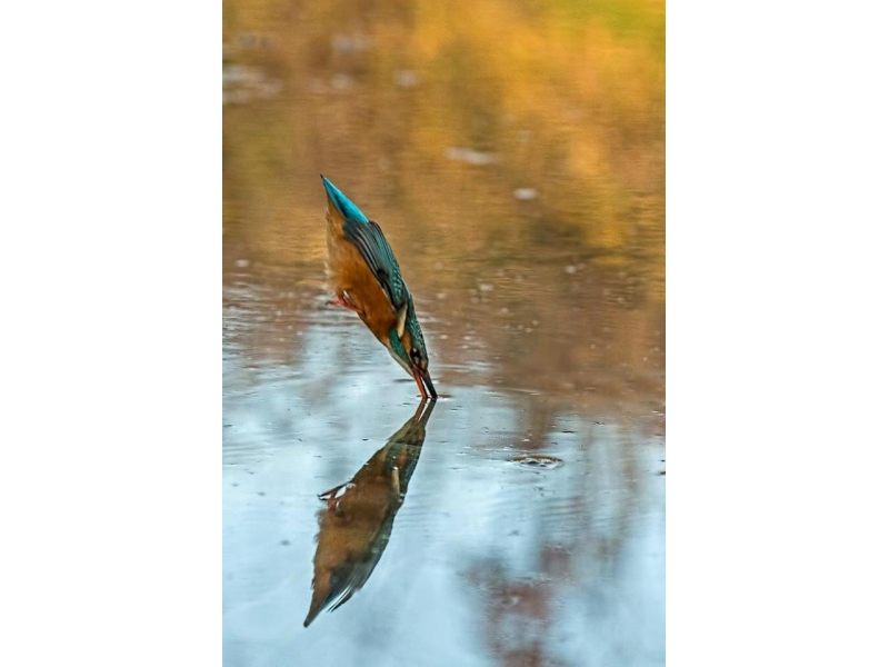 MARTIN BRADLEY 'The Birdman' Project in Schools - A perfectly timed shot featuring a Kingfisher, star of Martin's latest book.