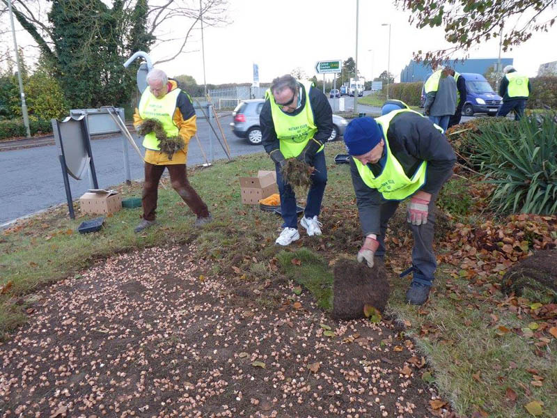 Growing Together to End Polio Now - Re-laying the turf to keep the corms cosy throughout the winter