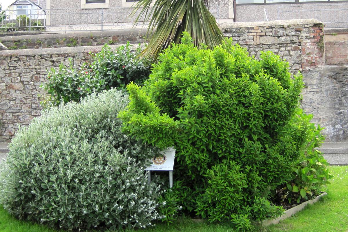 Gardening in Fishguard - Shrubs before work By Rotary