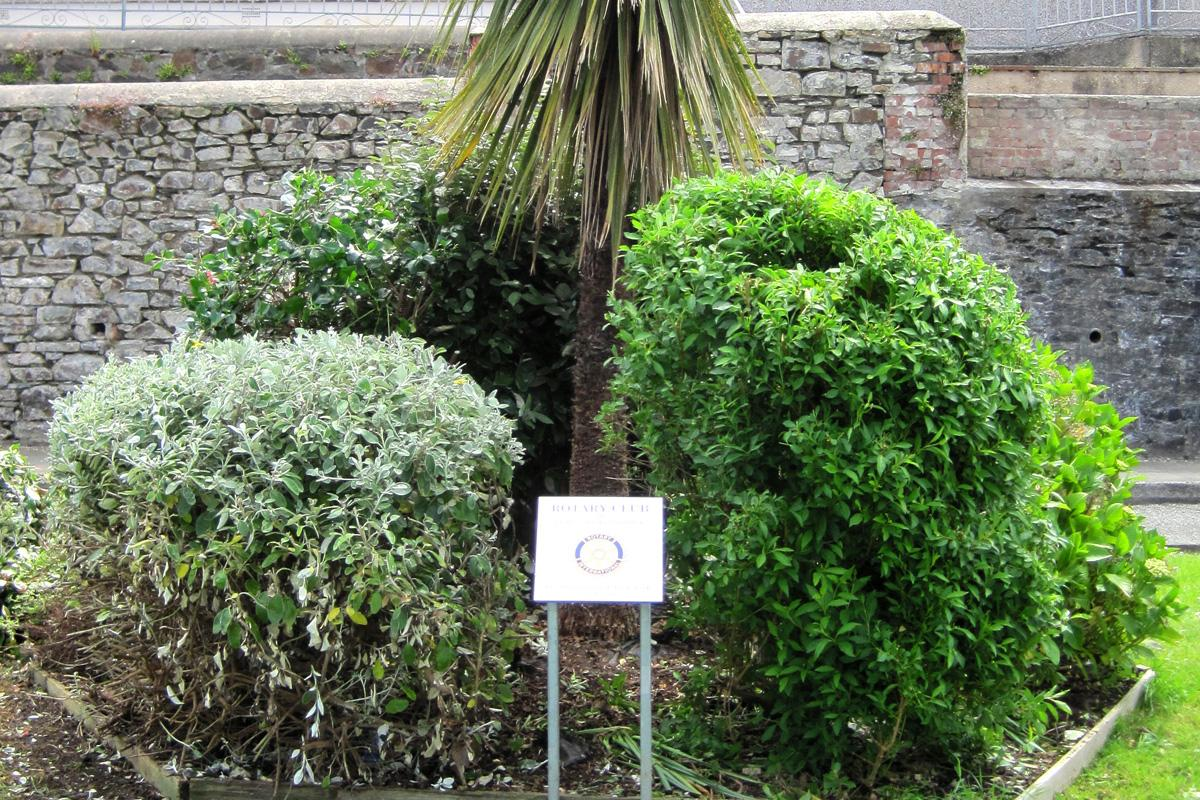 Gardening in Fishguard - The shrubbery after pruning