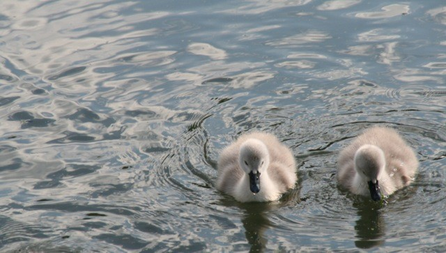 Junior Photographer PHOTOGRAPHS 2012 - Oscar's photo of signets on the pond