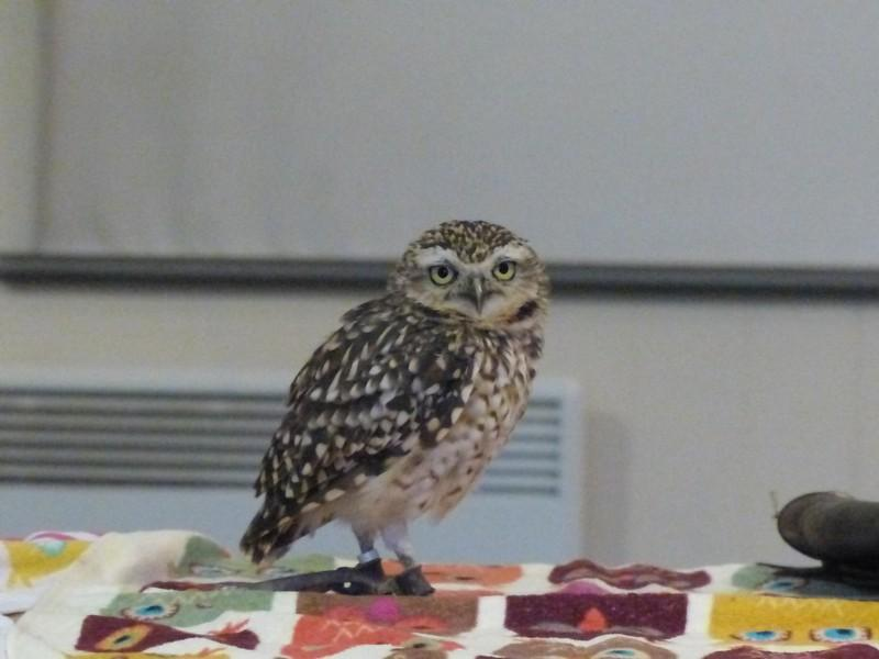 Club Meeting + Guest speaker Anita talking about Vocation - Murrey the Burrowing Owl (what a character)