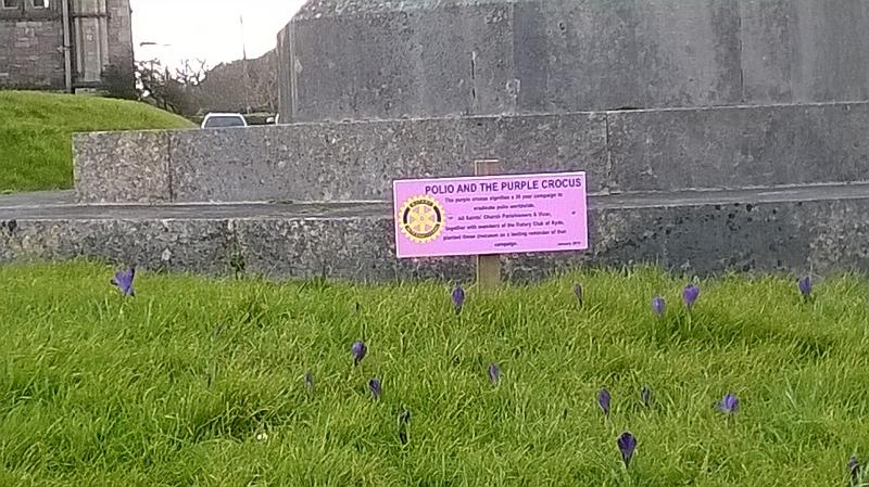 Crocus bulb planting at All Saints Church - As of March 2016 the corms flowered