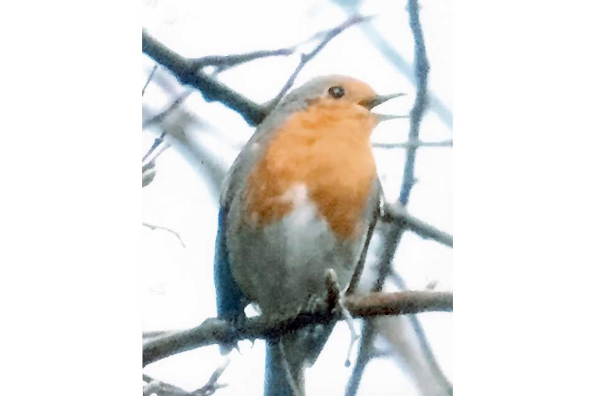 Young Photographers Competition - Robin by Gracie - Commended