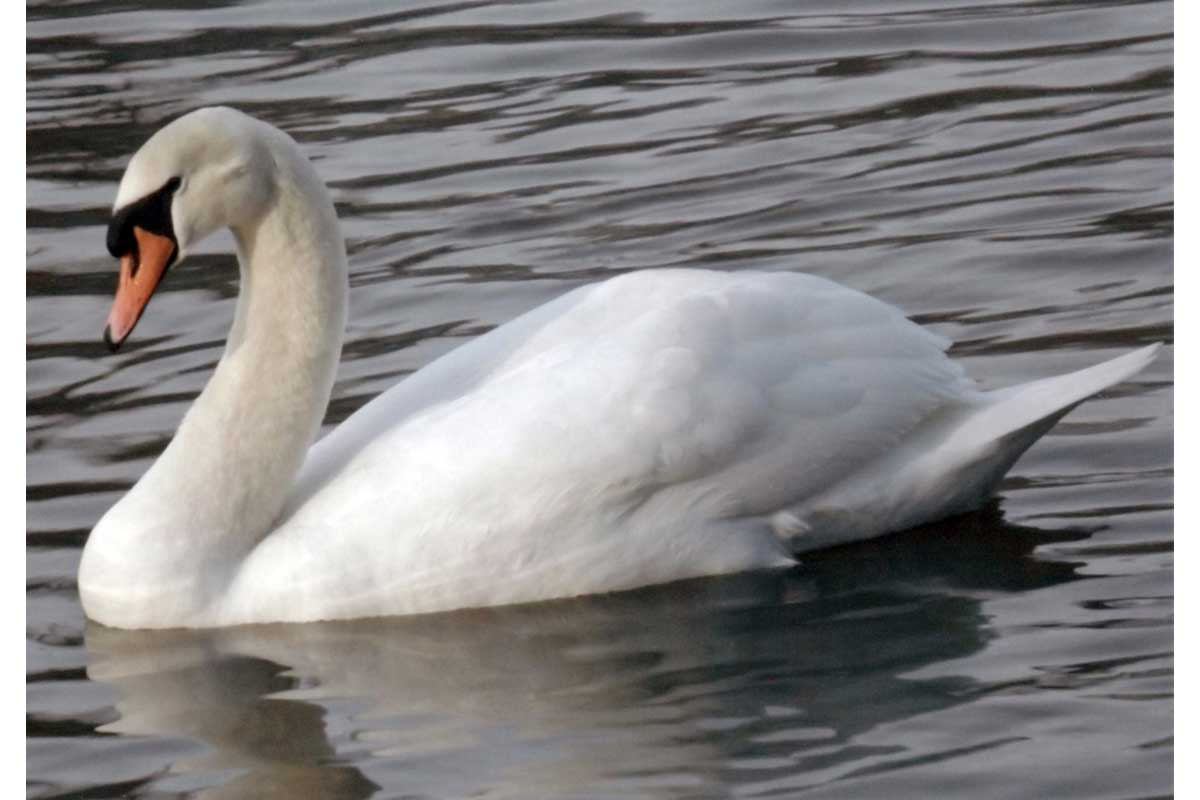 Young Photographers Competition - A Day With A Swan by Emily - Commended