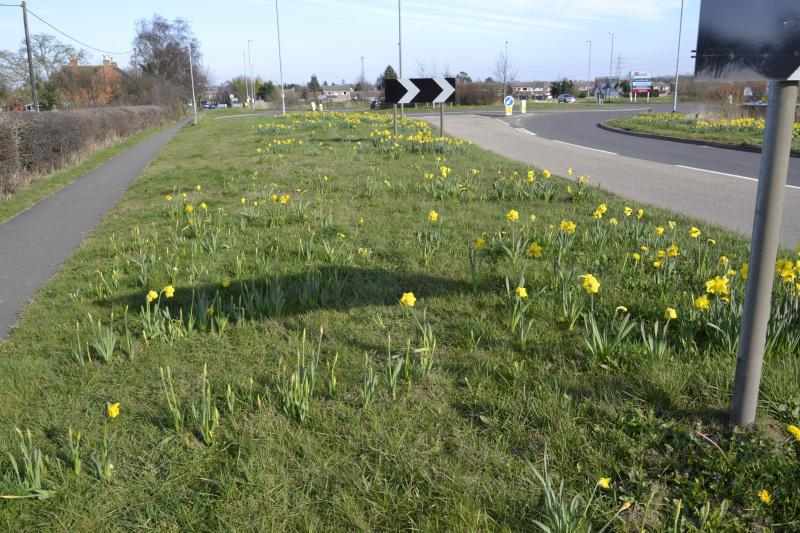 Our daffodils in bloom on 16th March 2014 along the Bourne by-pass -  Our daffodils are giving a bright Spring display