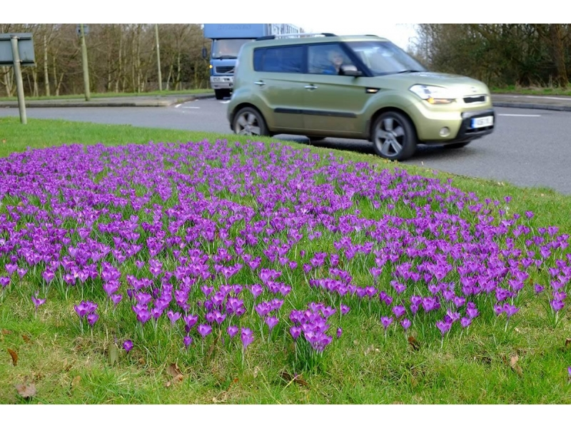 Crocuses in Bloom around the District -