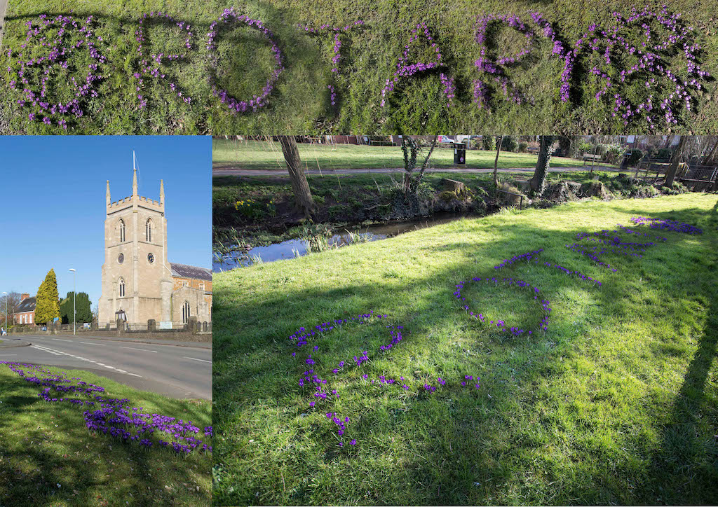 Purple for Polio - Crocus Planting October 2016 and result March 2017 -