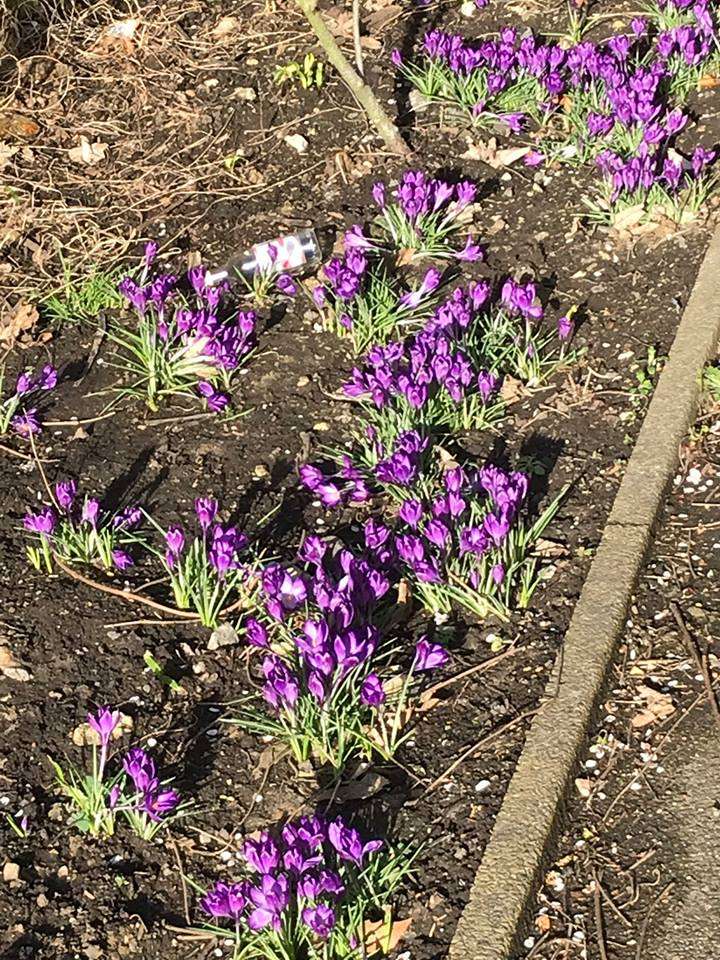 The first Crocuses have bloomed! - crocus01