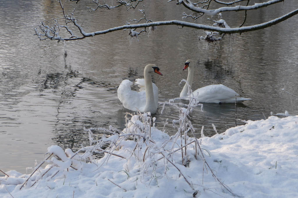 Blandford in the snow -  Hungry Swans on the River