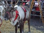 Reindeer Parade Photos -  Harnessed reindeer in pen in Market Place