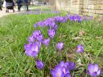Mar 2017 40,000 Purple Crocus Corms planted for Polio  - .