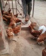 Our Work in Zambia - Chickens