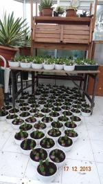 Christmas hyacinth bulbs for local residents - Growing ready to distribute