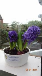 Christmas hyacinth bulbs for local residents - Our thanks to Tates Nursery, Ripon who donate the pots and compost each year.