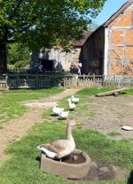 Visit from Pirmasens RC & Kiev Centre RC - May 2012 - The Goose really ruled the roost in this farmyard