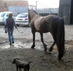 Outside Visit - Equine Pathways - Goochy being led back to the stables with farm dog Chico.