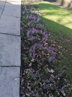 SPRING IS HERE AND SO ARE OUR CROCUSES! - Thanks to Lisa and the team