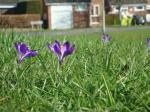 Focus on the Crocus -