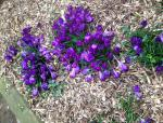 Painting the Town Purple for End Polio Now - Crocus bulbs planted at Redborne School in 2010 and still flowering.
