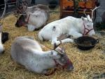 Reindeer Parade Photos -  Reindeer continue to rest in pen