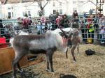 Reindeer Parade Photos -  Wonderful view of an adult reindeer in the stalls in Market Place