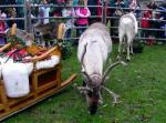 More Reindeer Parade Photos - Reindeer at Bishops Palace