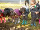 Planting 5,000 Crocus Corms for Polio Eradication - Have they come up yet?