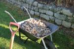 Purple4Polio campaign - Also planted at the same time was this wheel barrow full of daffodil bulbs
