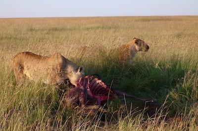Lion Feeding by Radhika Shah