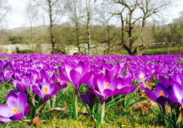 Purple crocuses - purple Polio fingers